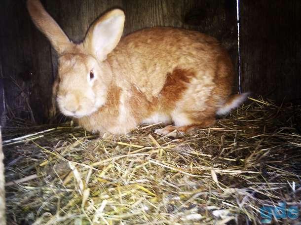 кроль Бургундия( чистая порода ), фотография 1