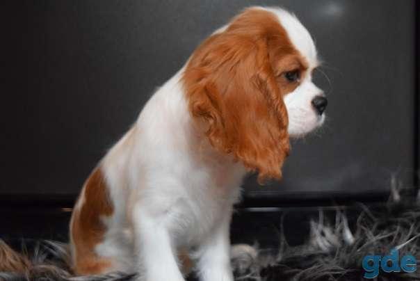 чудесный щенок породы Кавалер кинг Чарльз спаниель, фотография 2