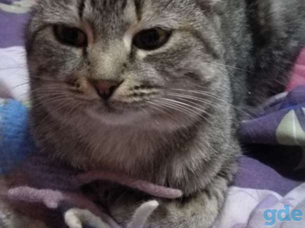 Шотландские котята. Пушистое счастье в ваш дом., фотография 11