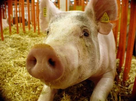 Свинина Домашняя, фотография 1