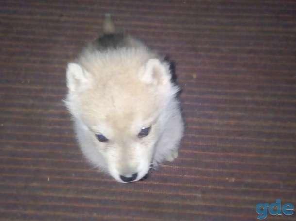 Продам щенка хаски.., фотография 1