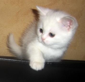 Британские котята, фотография 1