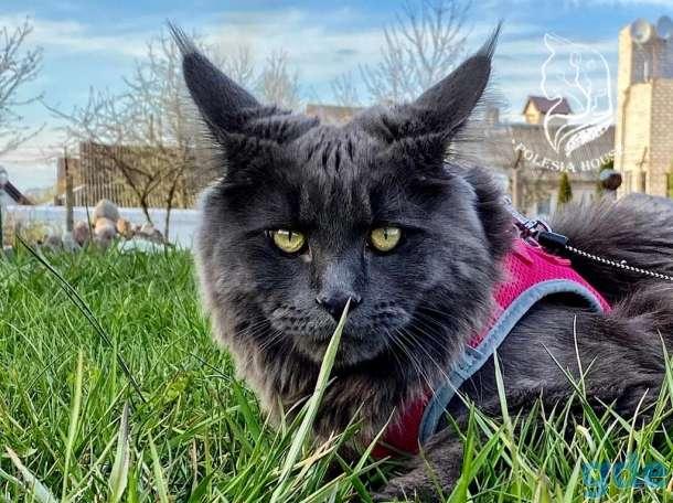 Котята Maine Coon - Эксклюзив!, фотография 2