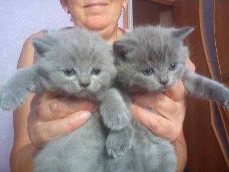 только родившиеся британские котята фото