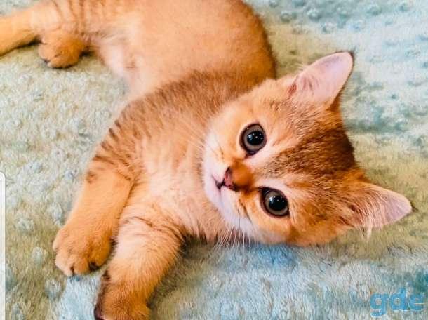 Шотландские котята, фотография 1