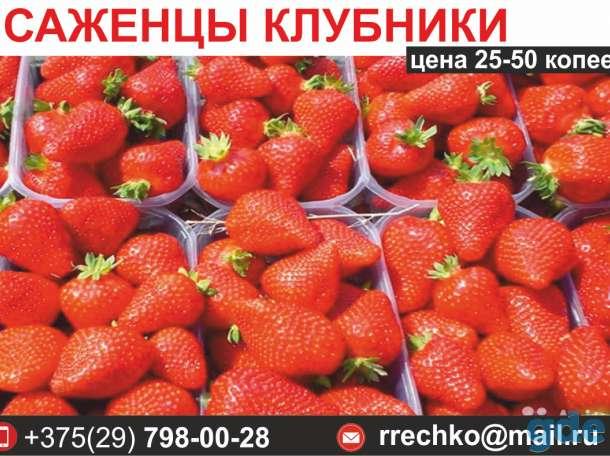 Саженцы клубники. Выгодные цены., фотография 1