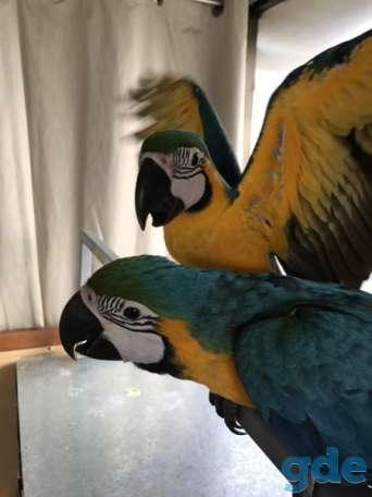 Бумаги ДНК 2-летние самцы голубых и золотых попугаев ара, фотография 2