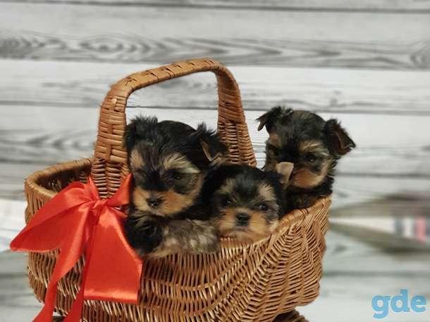Продам щенков йоркширского терьера, фотография 2