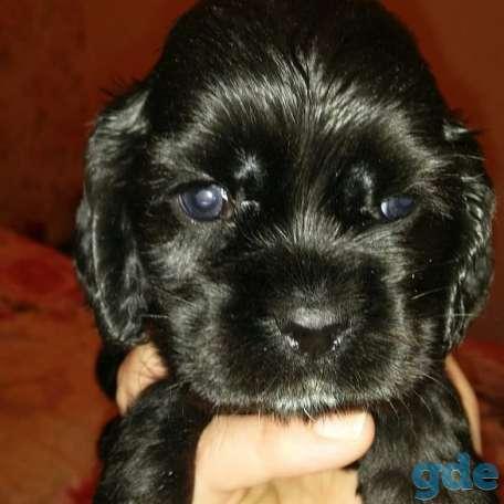 Продам щенков американский кокер спаниель, фотография 1