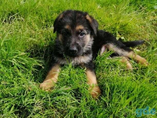 Питомник немецких овчарок предлагает к продаже и резервированию щенков от чистокровных родителей., фотография 2