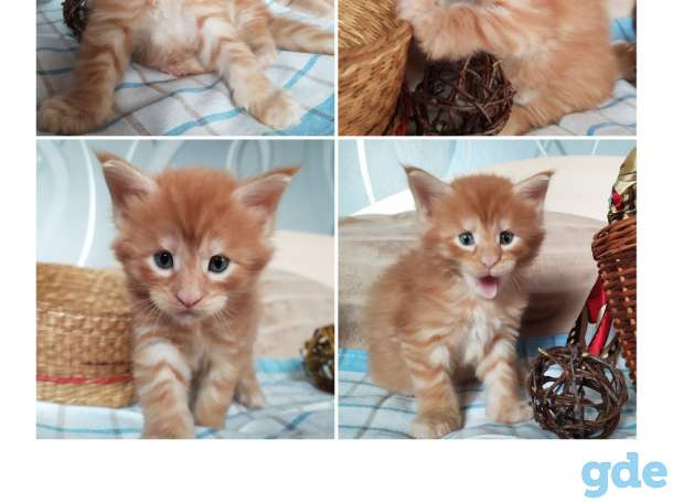 Мейн-кун, котята, фотография 5