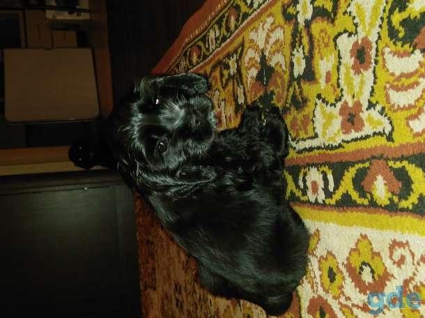 Продам щенков американский кокер спаниель, фотография 3