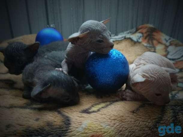Котята донского сфинкса, фотография 2