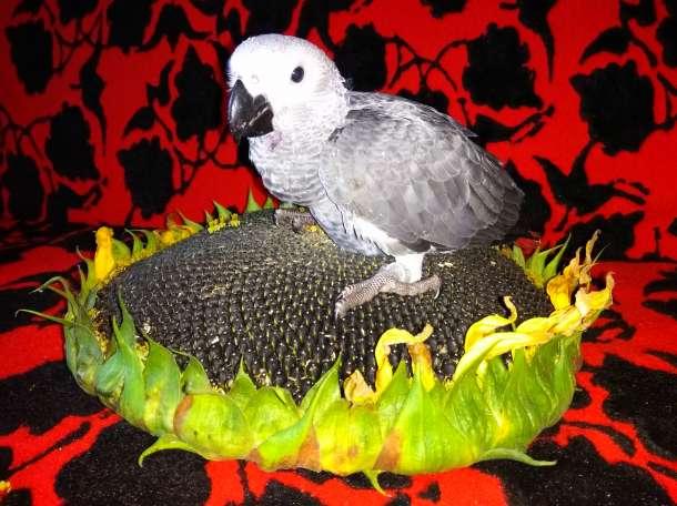 Попугай Жако. Купить говорящего попугая  жако, ара, какаду, амазон, эклектус., фотография 1