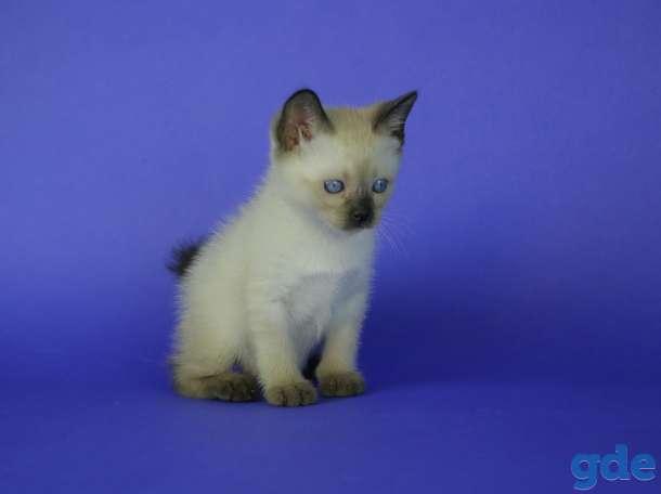 Котята редкой породы Той-боб, фотография 2