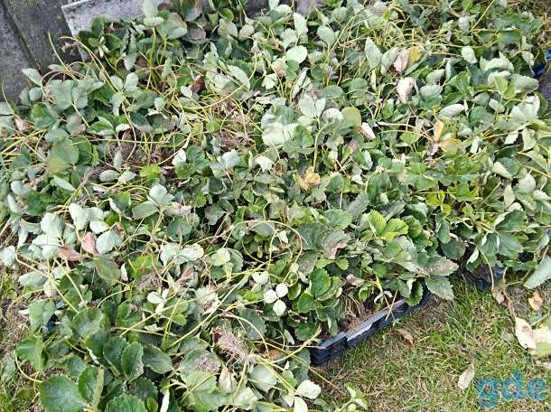 Саженцы малины, клубники, фотография 2