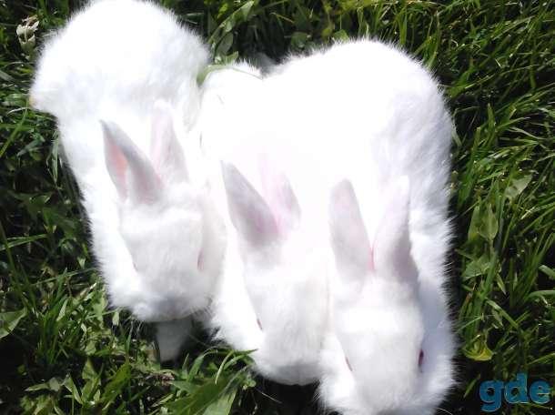 кролики нзб и нзк., фотография 3