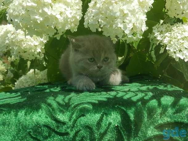 Питомник бенгальских и шотландских кошек., фотография 3
