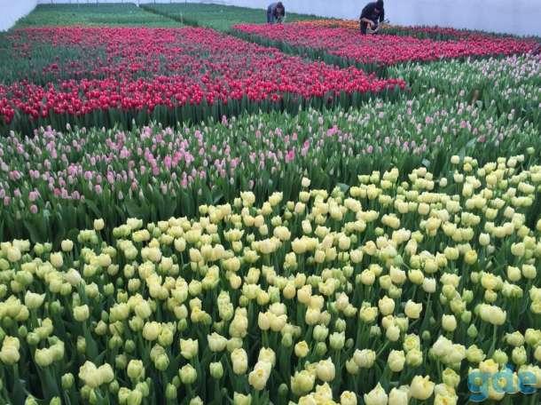 Продам тюльпаны к 8 марта оптом, фотография 1