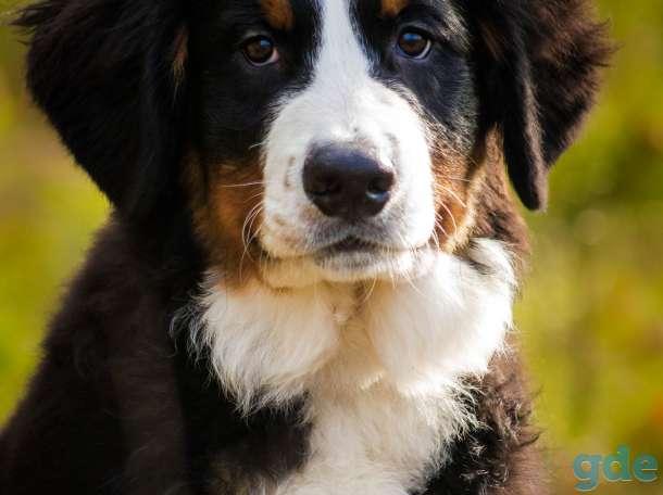 Очаровательные щенки Бернского зенненхуна, фотография 2