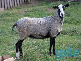 Продам срочно овец романовской породы, фотография 2