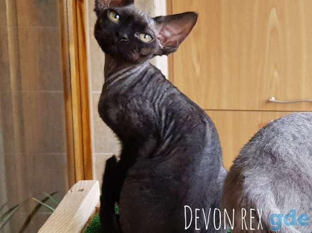 Девон рекс молодой кот, фотография 1