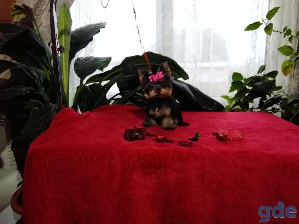 Йоркширский терьер мини девочка, фотография 2
