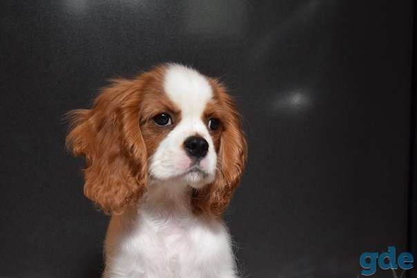 чудесный щенок породы Кавалер кинг Чарльз спаниель, фотография 5