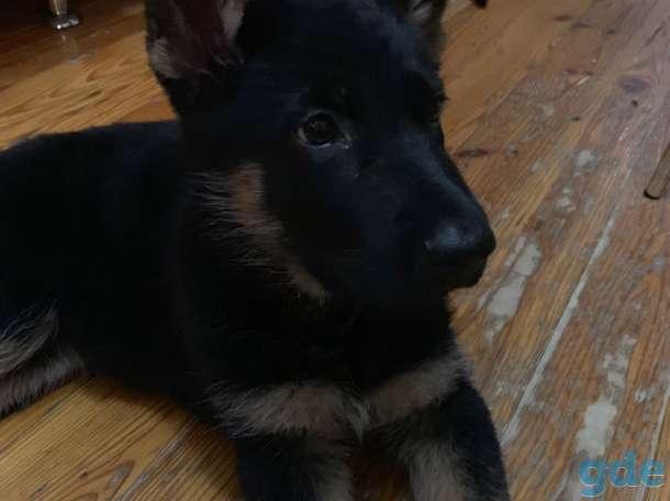 Продам щенка (девочка) немецкой овчарки, фотография 3