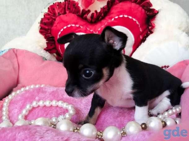 продам щенков чихуахуа, фотография 4