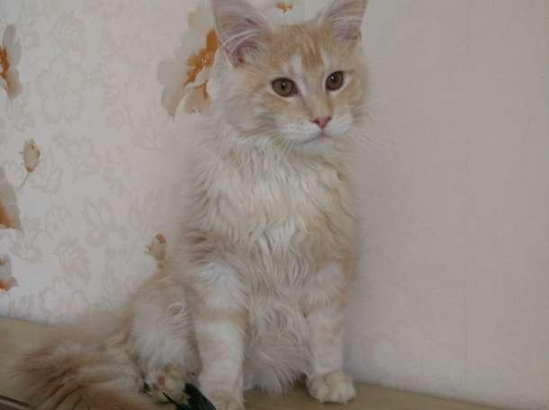 Мейн кун котенок, фотография 1