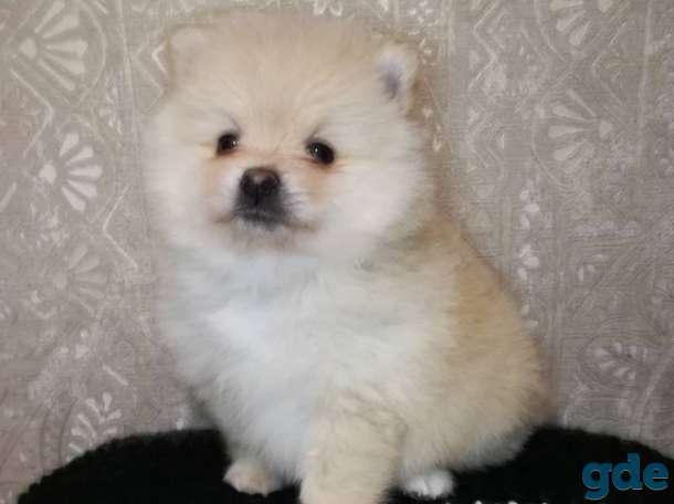 Померанский шпиц, породный щенок!, фотография 7
