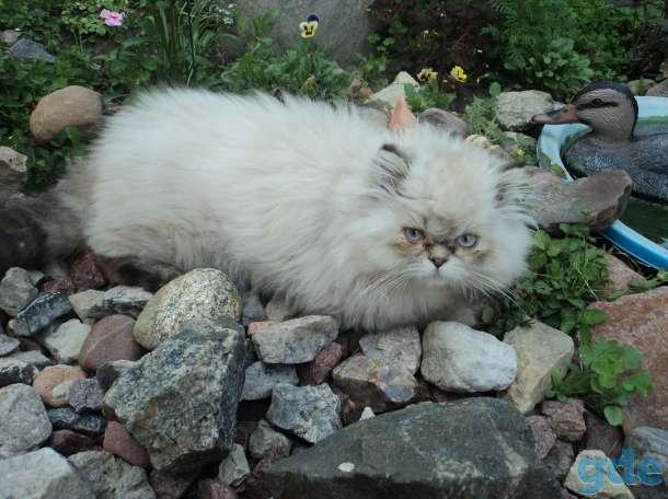 персидские котята, фотография 3