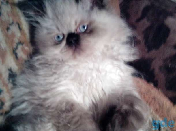 персидские котята, фотография 4
