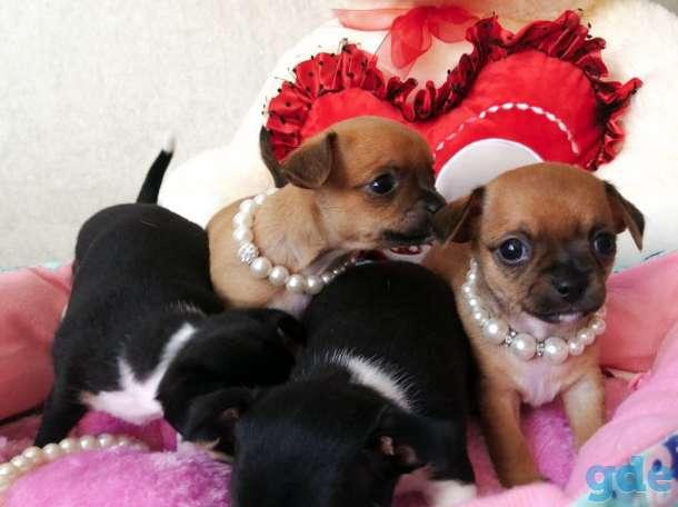 продам щенков чихуахуа, фотография 5