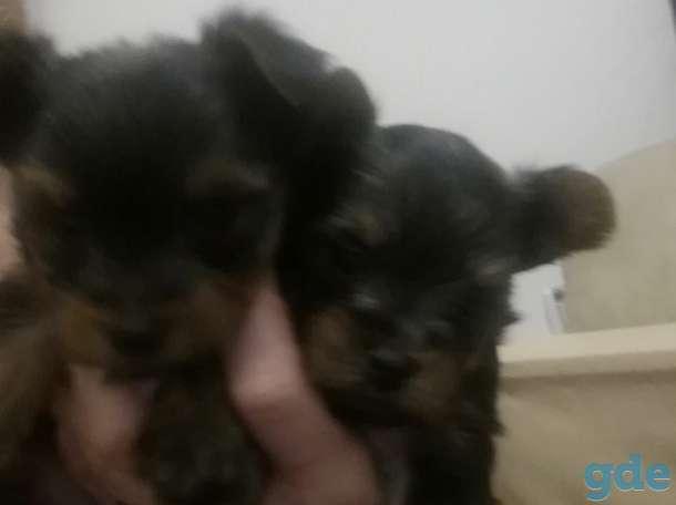 Продам щенков мини Йорка, фотография 1