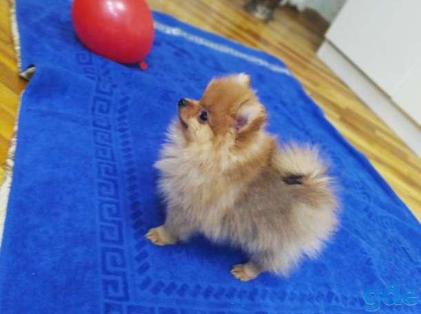 продам щенков померанского шпица, фотография 2