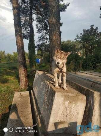 Собака породы хаски, фотография 1