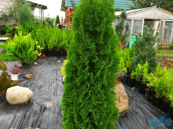Туи, можжевельники, виноград  и другие  декоративные растения, фотография 5