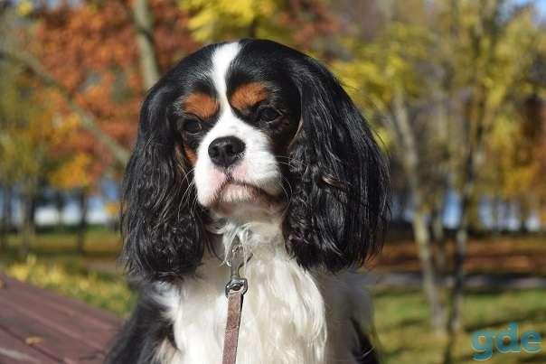 чудесный щенок породы Кавалер кинг Чарльз спаниель, фотография 12