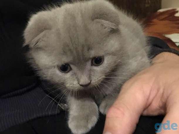 Вислоухий котенок, фотография 1