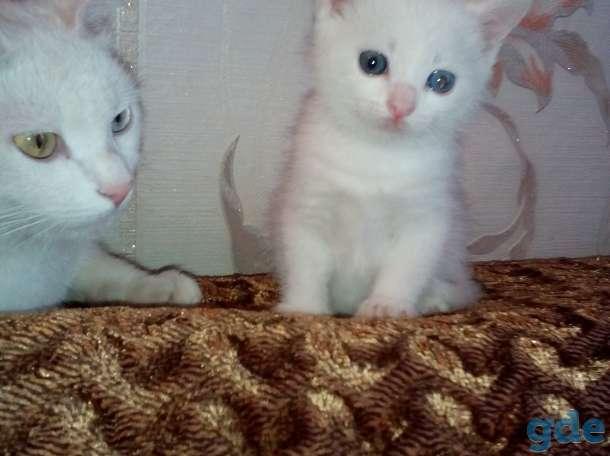 Разноглазый белоснежный котенок ,от роду 1 месяц 2 недели, фотография 2