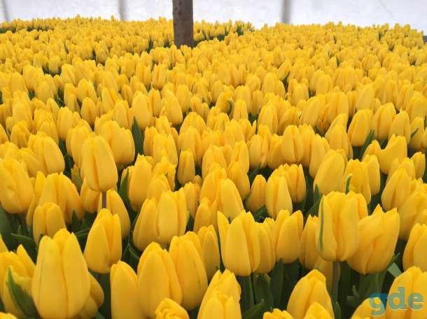 Продам тюльпаны к 8 марта оптом, фотография 4