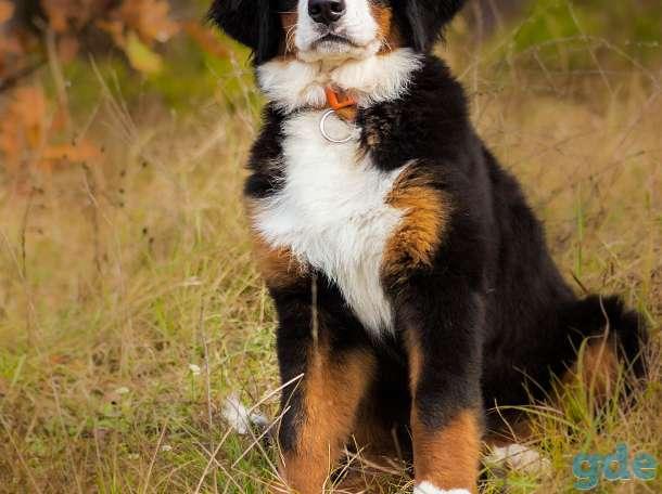 Очаровательные щенки Бернского зенненхуна, фотография 6