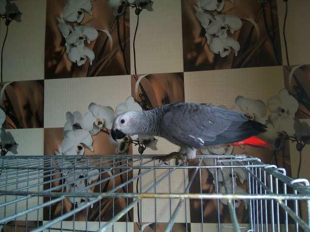 Попугай Жако. Купить говорящего попугая  жако, ара, какаду, амазон, эклектус., фотография 2