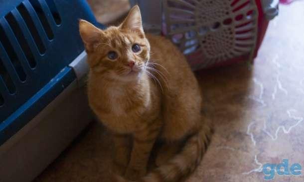 Жорж  Маленький, рыжий, позитивный котик-подросток. Жорж очень ласковый, к лотку приучен и кастрирован., фотография 1