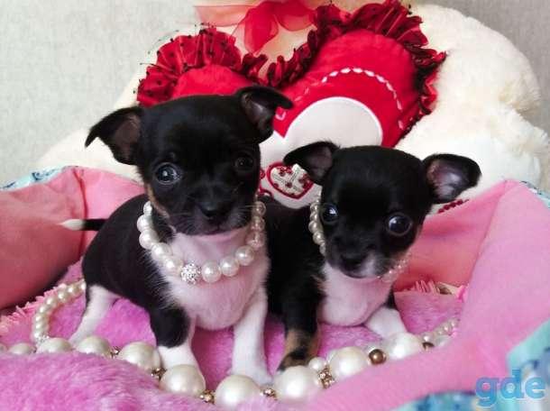 продам щенков чихуахуа, фотография 3