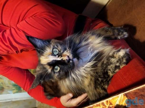 Мейн-кун, котята, фотография 9