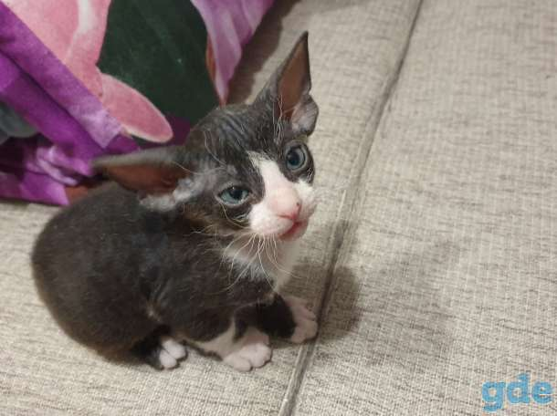 Котёнок сфинкс, фотография 1