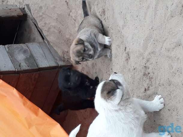 Продам щенков западносибирской лайки, фотография 2